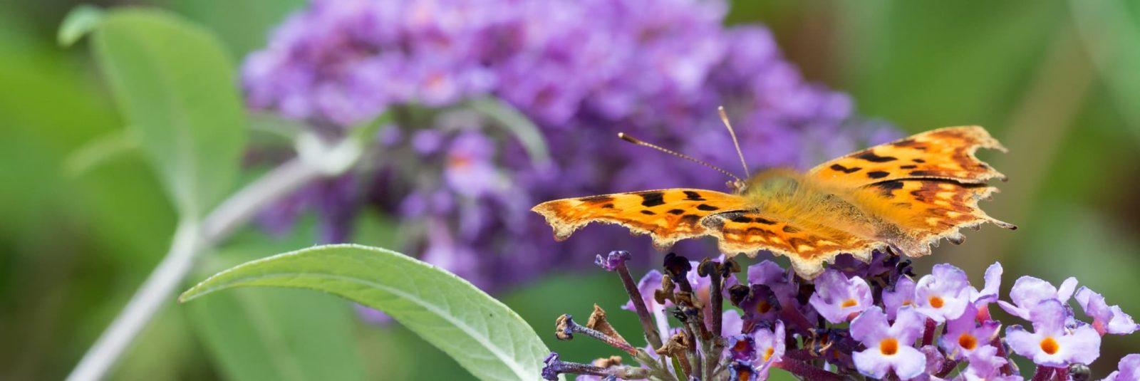 a monarch butterfly sat on a buddleja plant