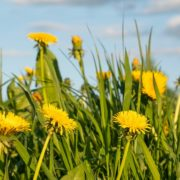 dandelions in overgrown grass with clouded sky in the background