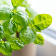 fresh basil growing in a pot on a kitchen windowsill
