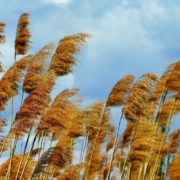 reeds blowing in the wind with cloudy sky in the background