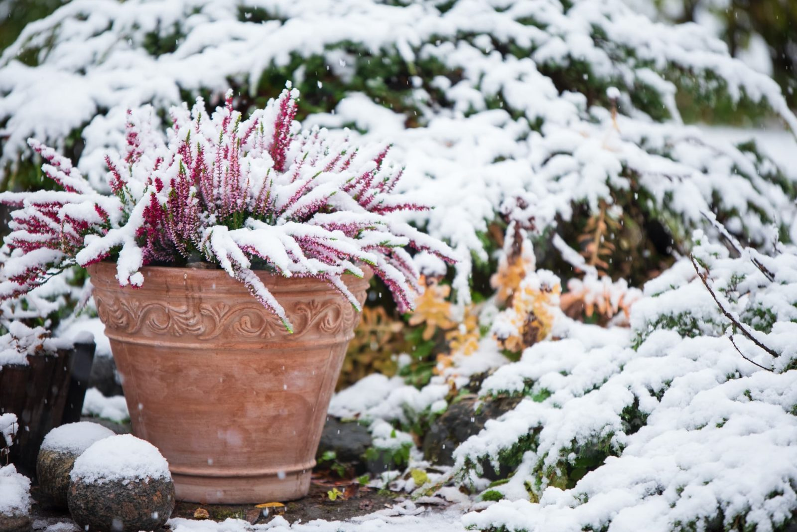 common heather in a terracotta planter sat outside in the snow