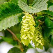 Green Ostrya carpinifolia