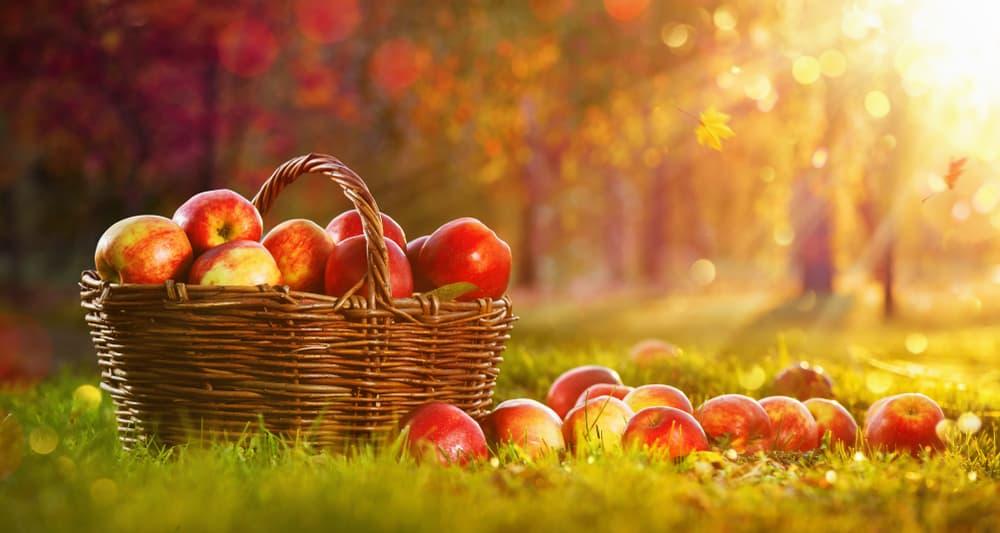 Freshly harvested apples in a wicker basket