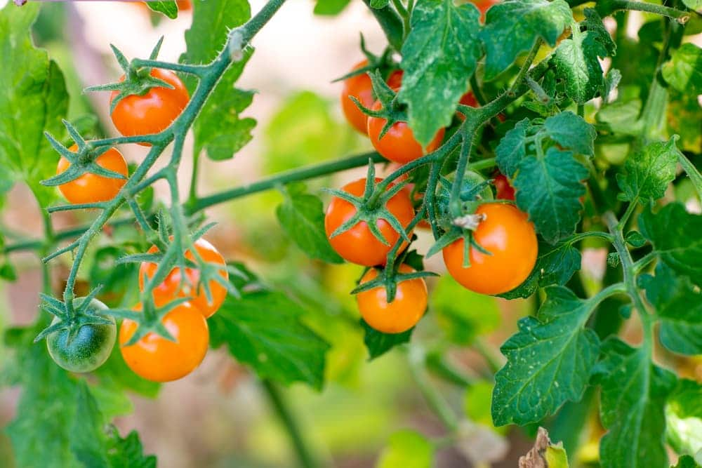 Sungold tomatoes on the vine with distinct orange hue