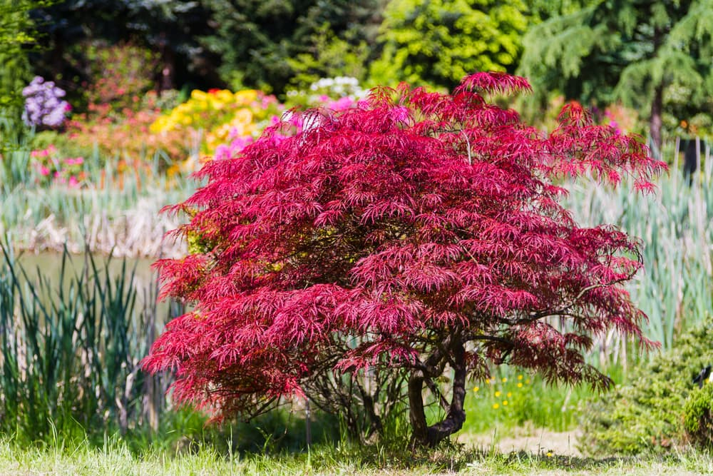 Acer palmatum in a park with dark red leaves