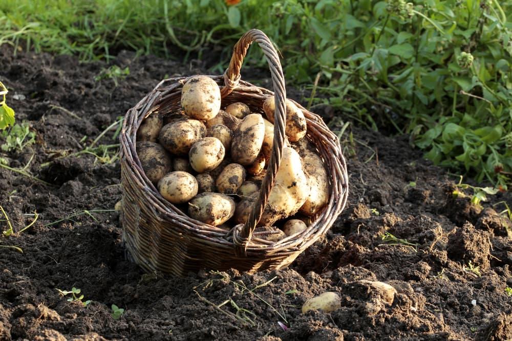 potatoes in a wicker basket