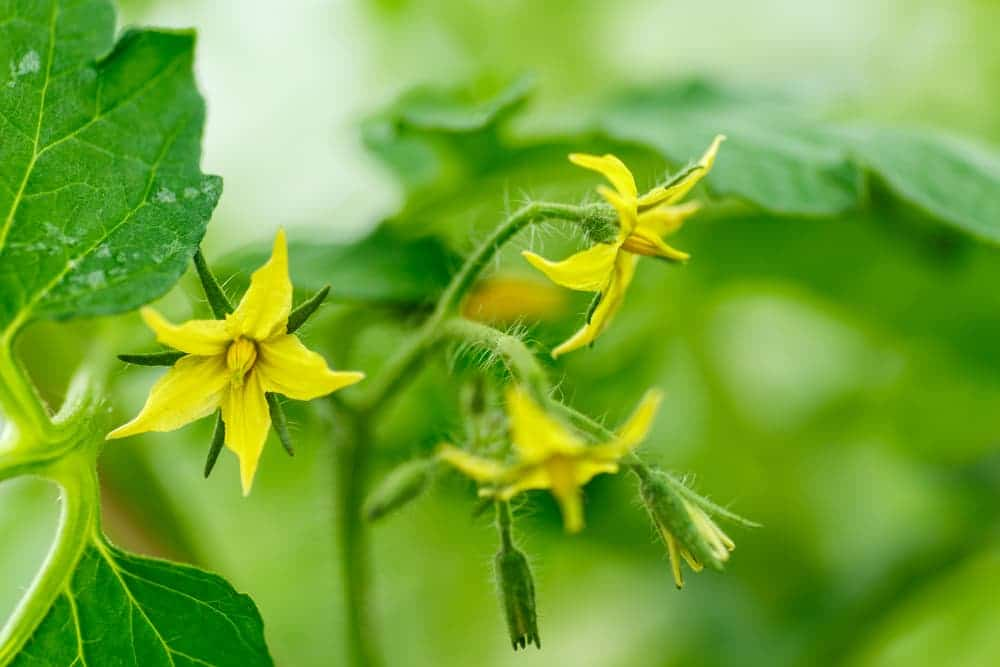 three yellow flowers on tomato plant