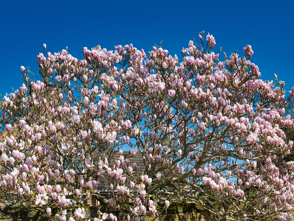 pink flowers of a magnolia tree