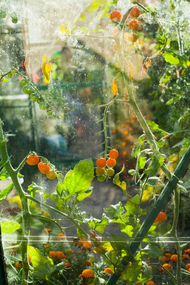 orange sungold cherry tomatoes in a glasshouse