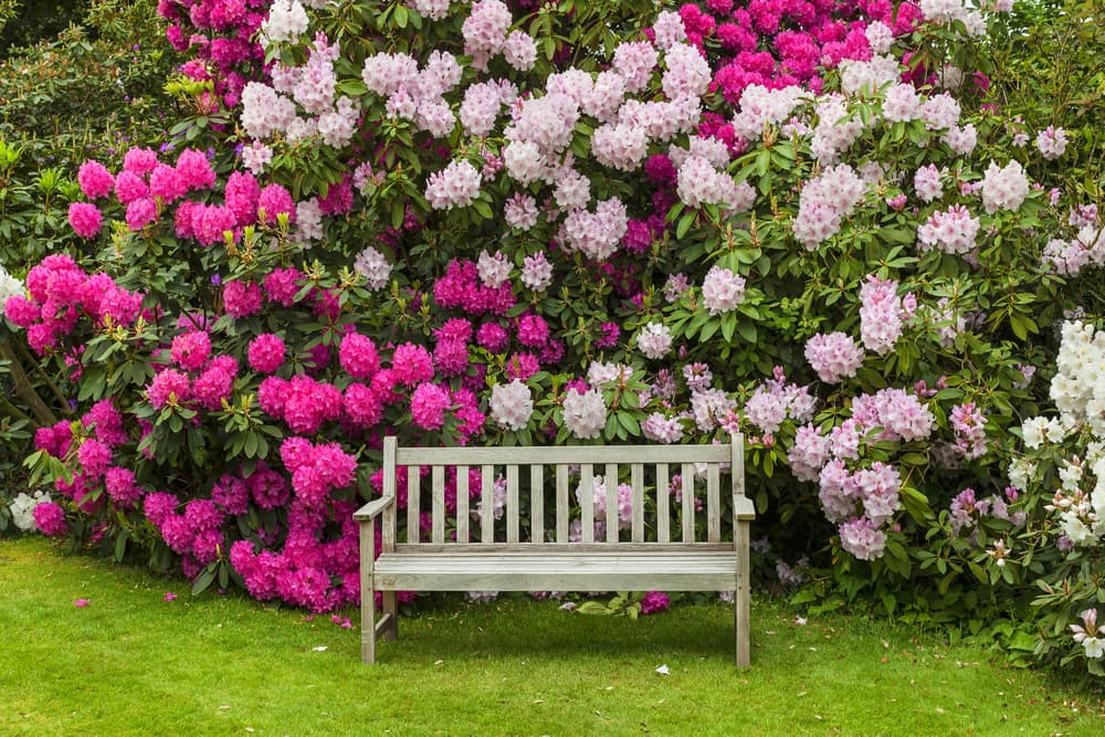 pink Rhododendrons behind a park bench