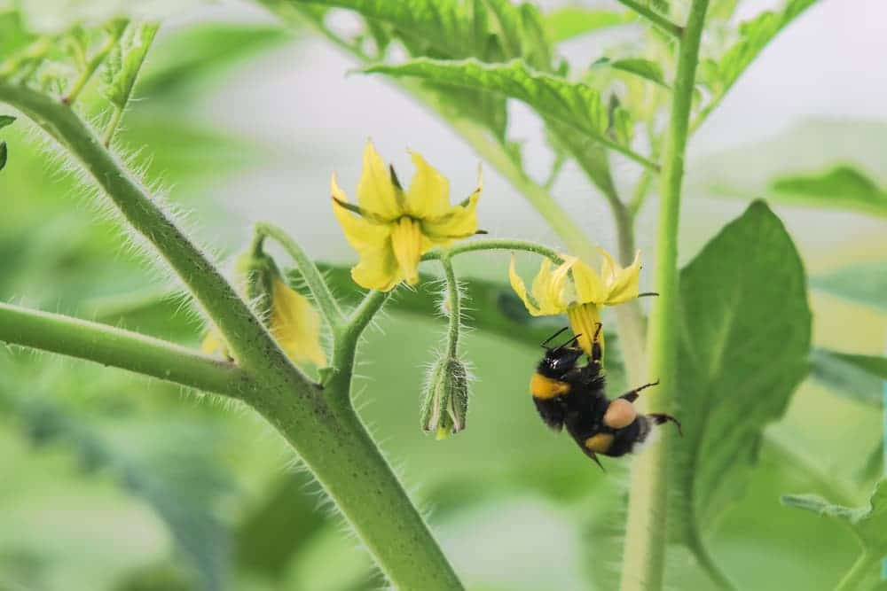 Bumblebee pollinating a yellow tomato flower