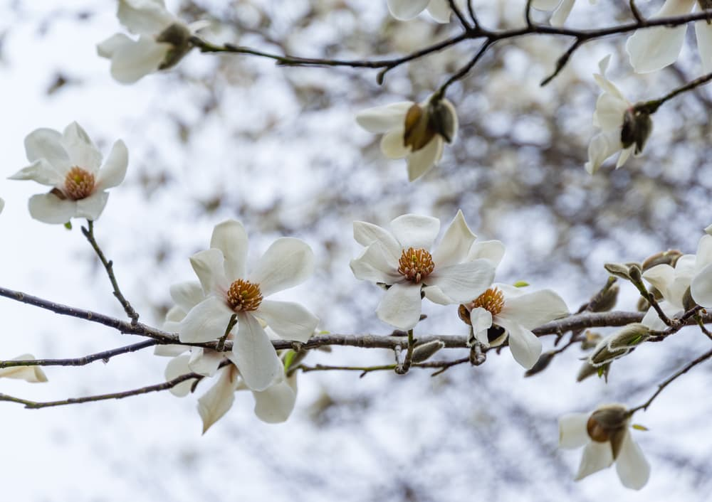 white flowers of Magnolia kobus with branches in the background