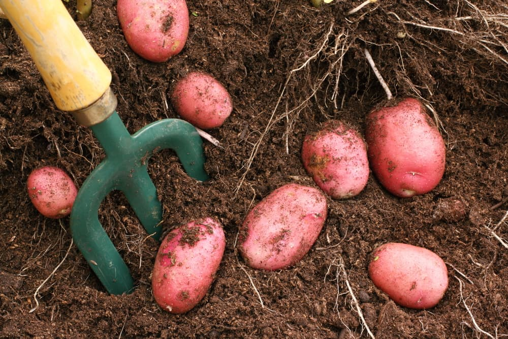 harvesting potatoes from soil with a garden fork
