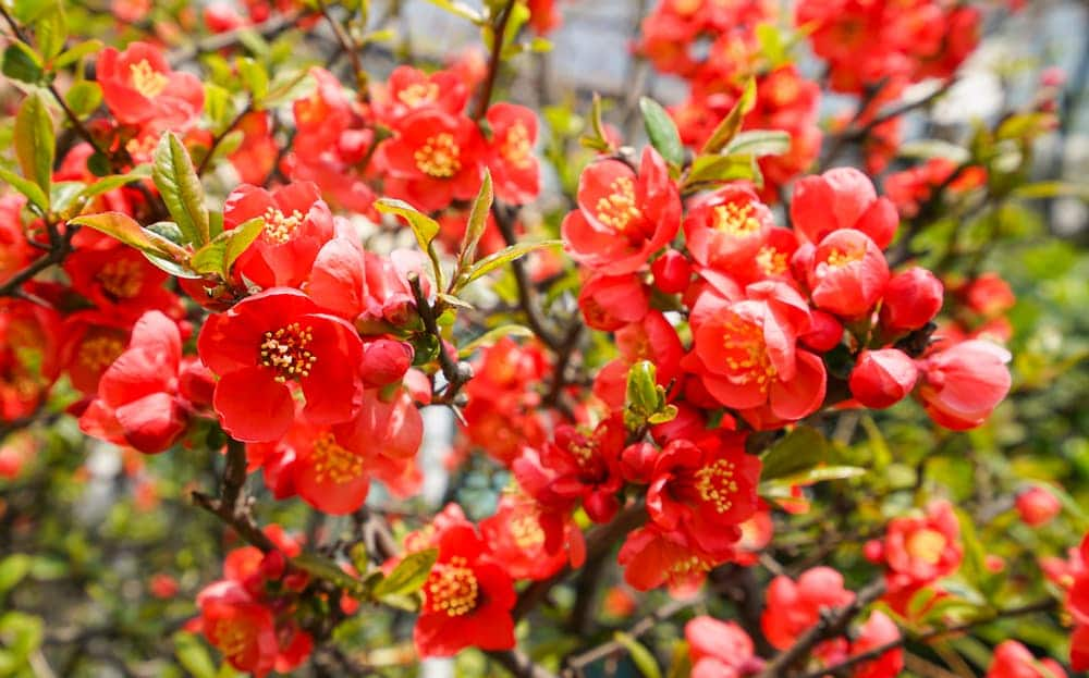 red Chaenomeles flowers