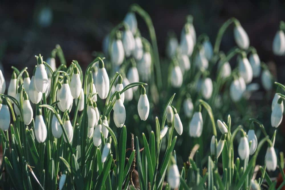 white drooping flowers of Galanthus
