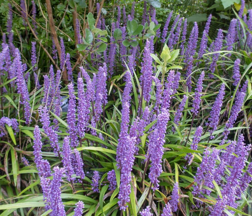 upright purple flowers of Liriope miscari