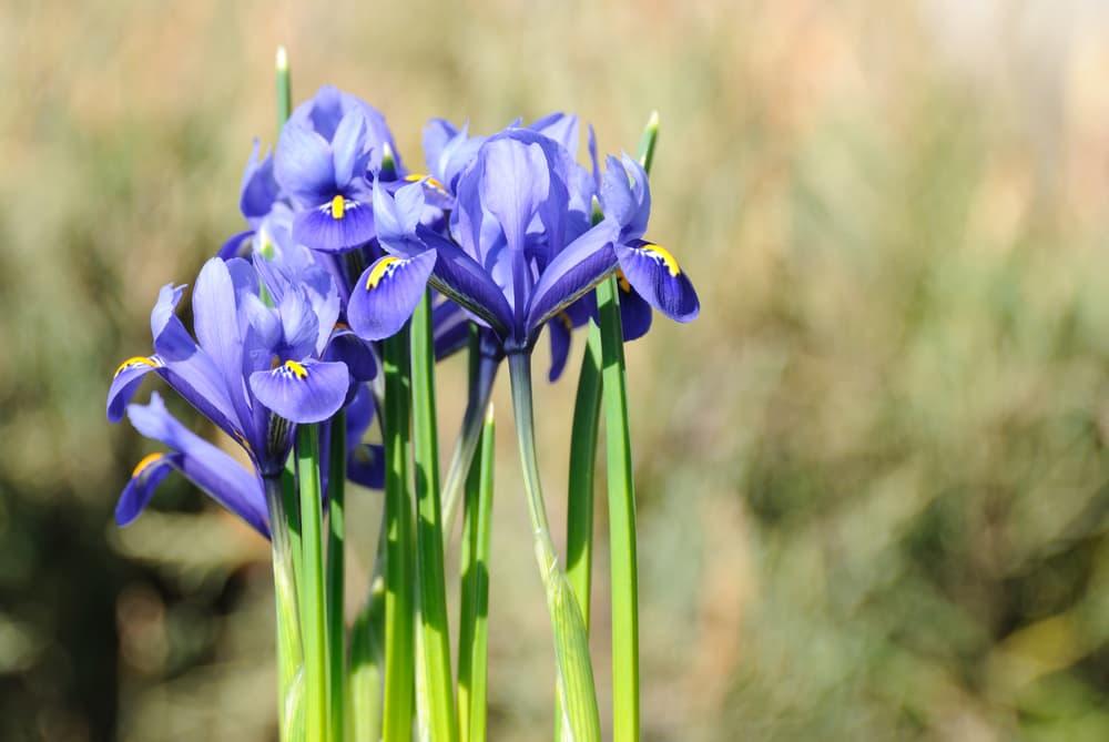 blue and yellow Iris reticulata flowers