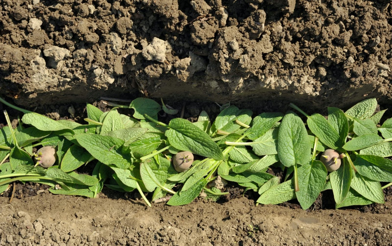 a vegetable garden trench with comfrey and chitted desiree potatoes