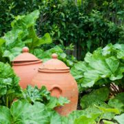 two traditional clay forcing jars next to rhubarb plants