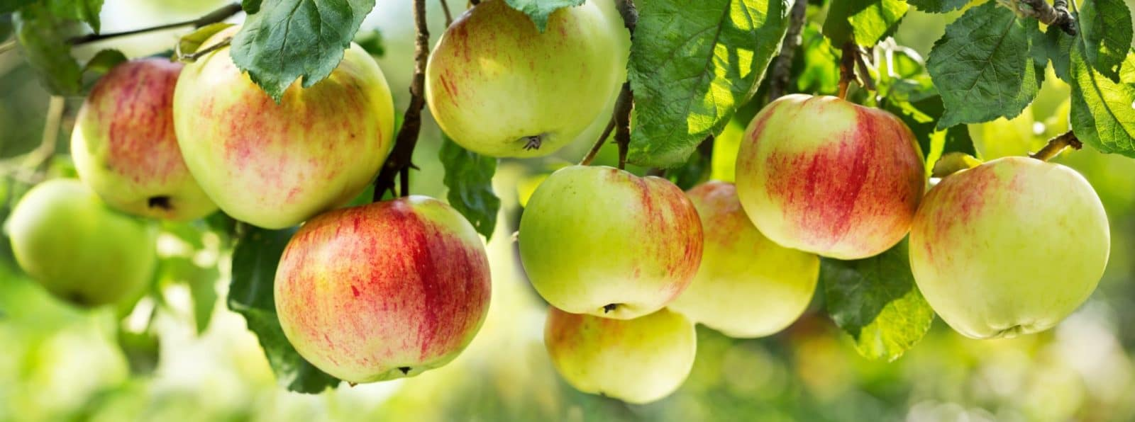 ripe apples on branches of a tree