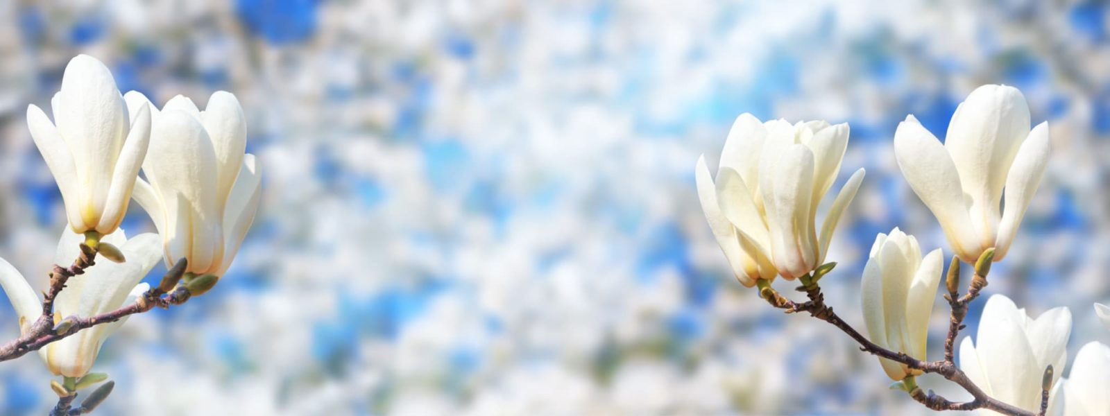 white magnolia flowers with a bright background