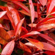 photinia red robin leaves