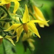 yellow flowers of tomato plant