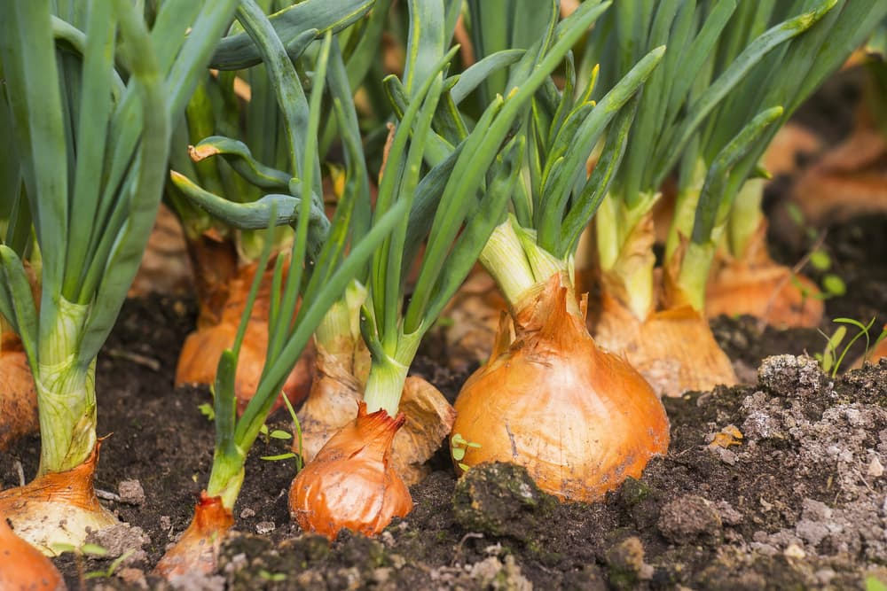 onion bulbs in the ground