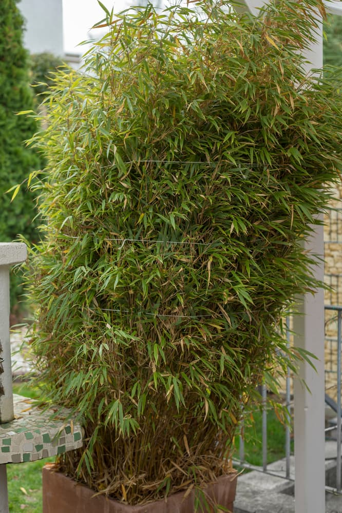 bamboo in a terracotta pot, wrapped together before the winter season