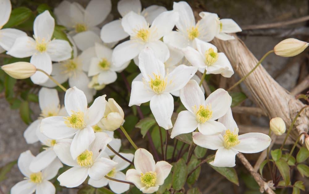 white flowers of Clematis montana var grandiflora