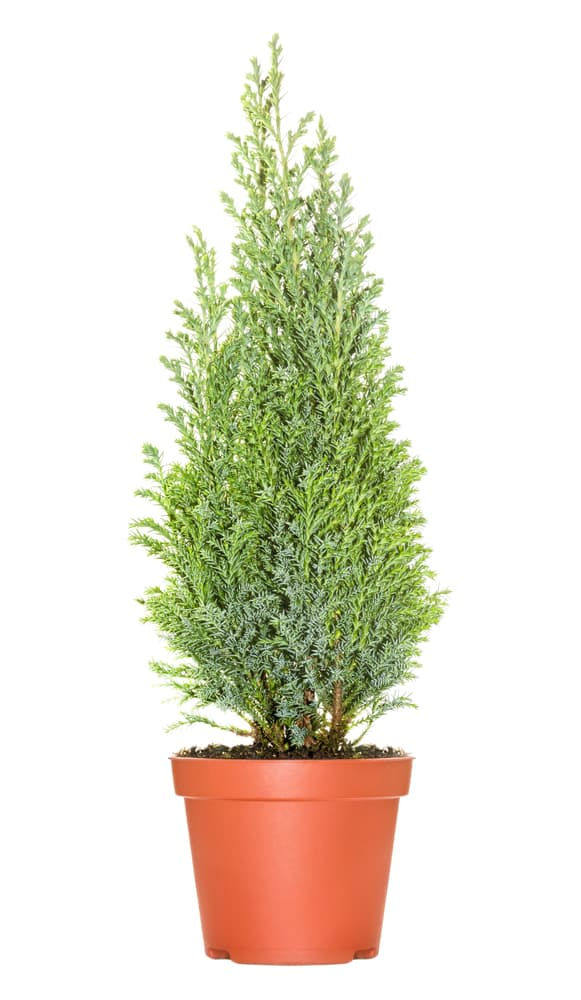 a potted cypress tree on a white background