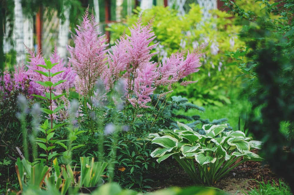 a mixed garden border with astilbe and hostas planted together