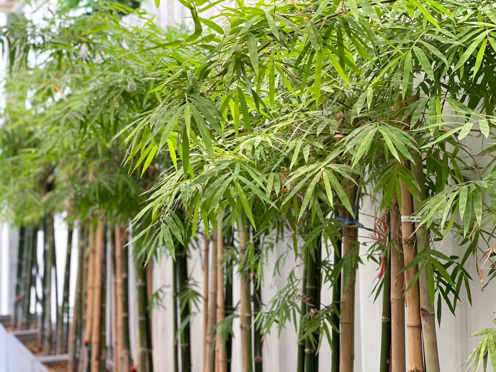 bamboo with green foliage in summer
