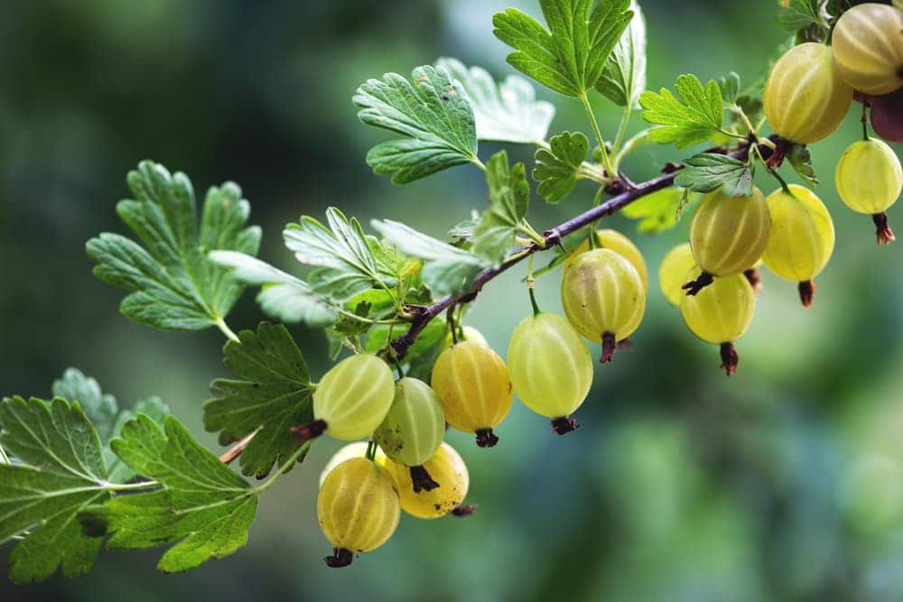 a single branch of gooseberries in an orchard