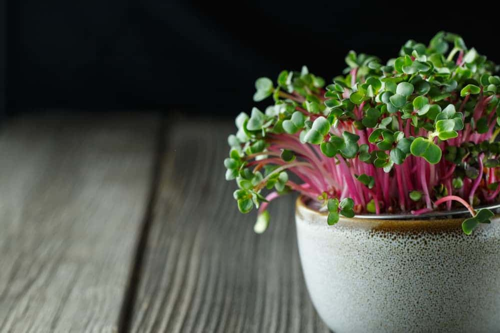 radish microgreens with red stems in a small ceramic pot