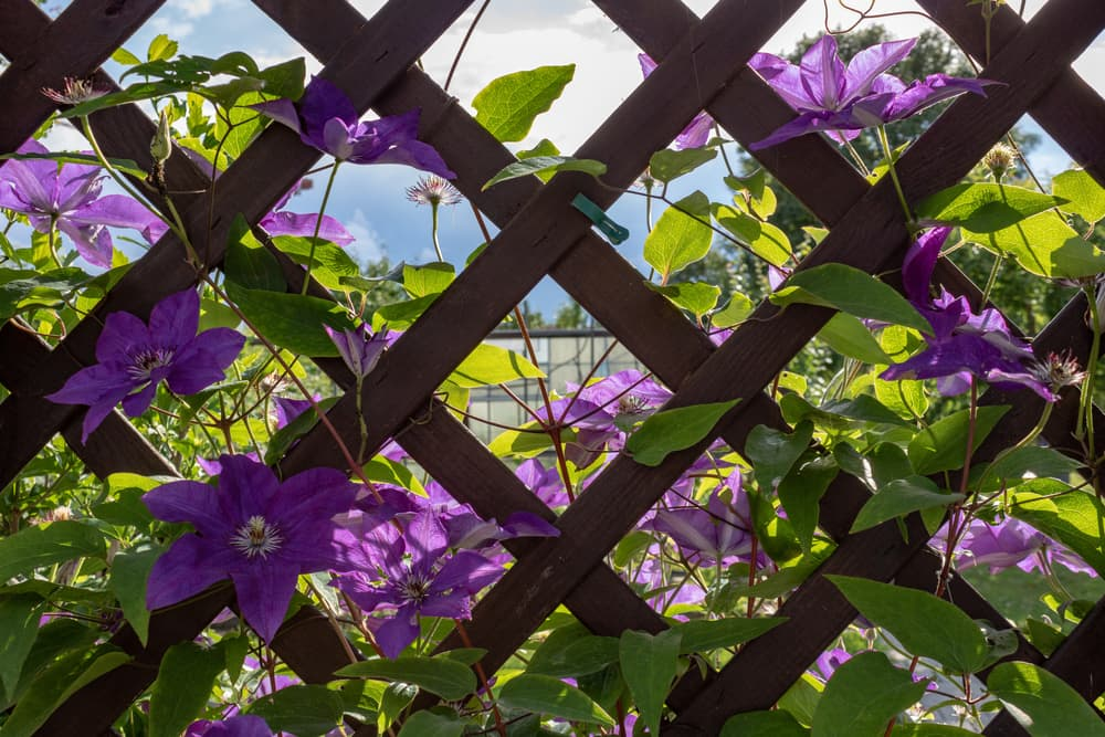Clematis viticella on a garden trellis