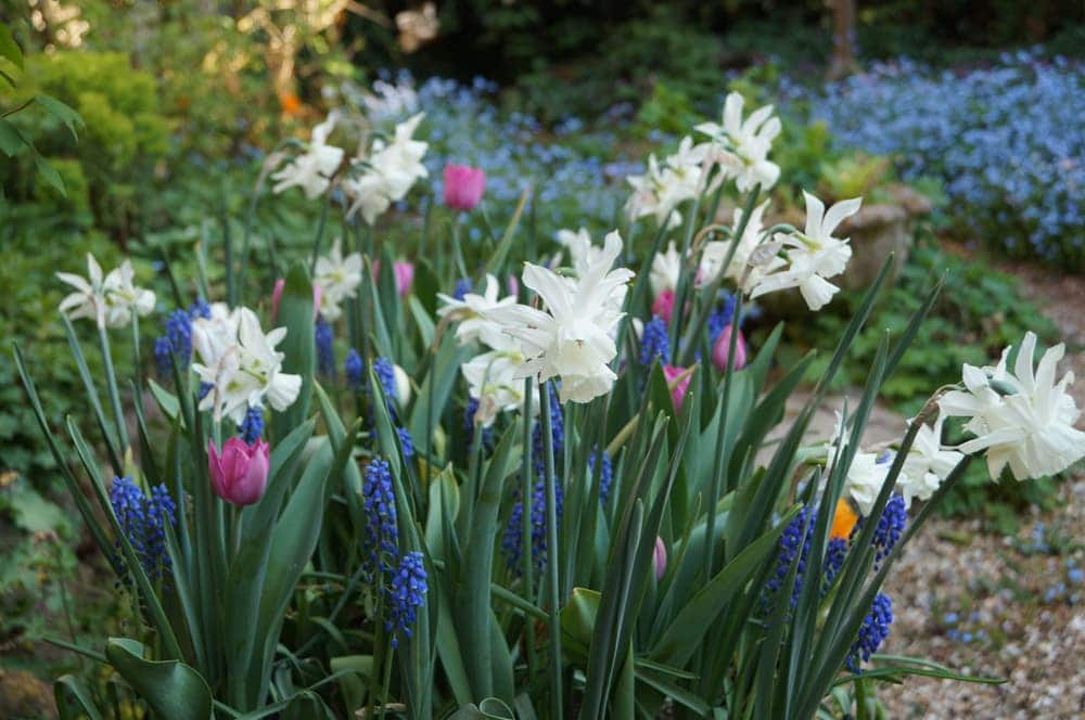 A mixed container of bulbs with Hyacinths, Narcissus Thalia and Tulips