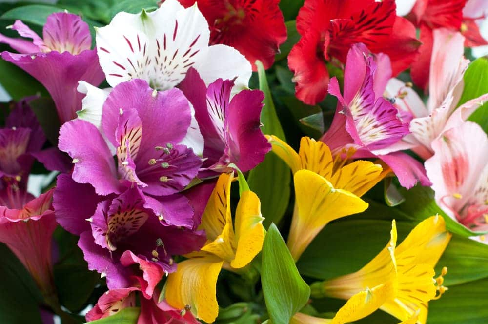 purple, pink and yellow alstroemeria flowers