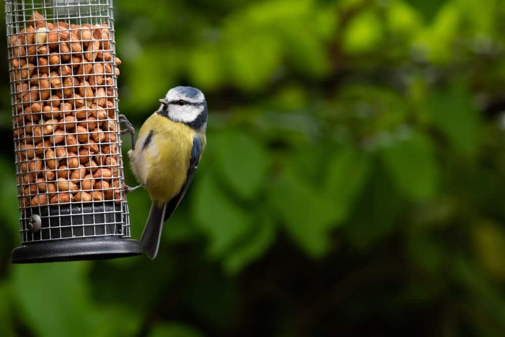 a blue tit eating from a feeder