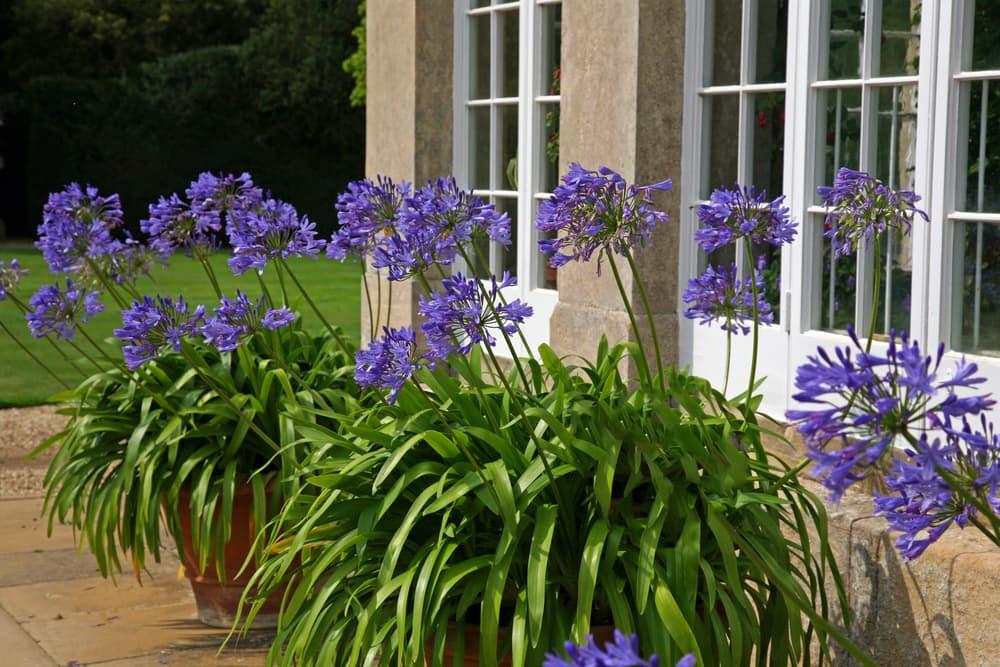 blue agapanthus flowers in terracotta pots
