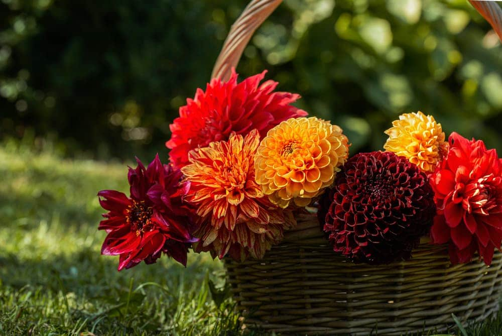 various coloured dahlia flowers in a wicker basket