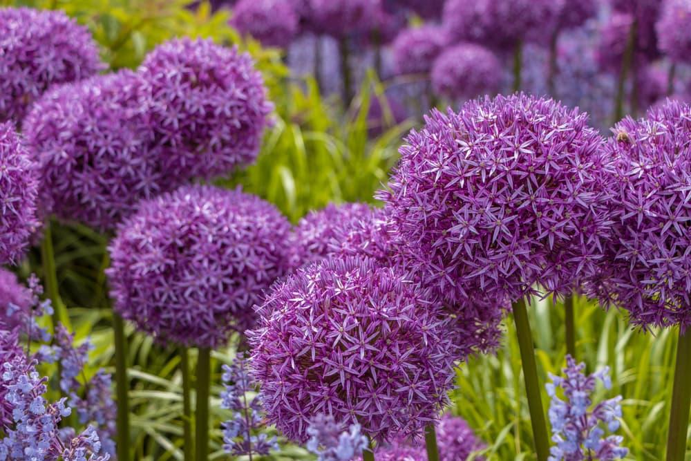 round purple allium flowers