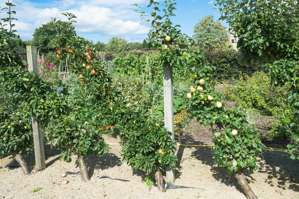 cordon apple trees bearing lots of fruit