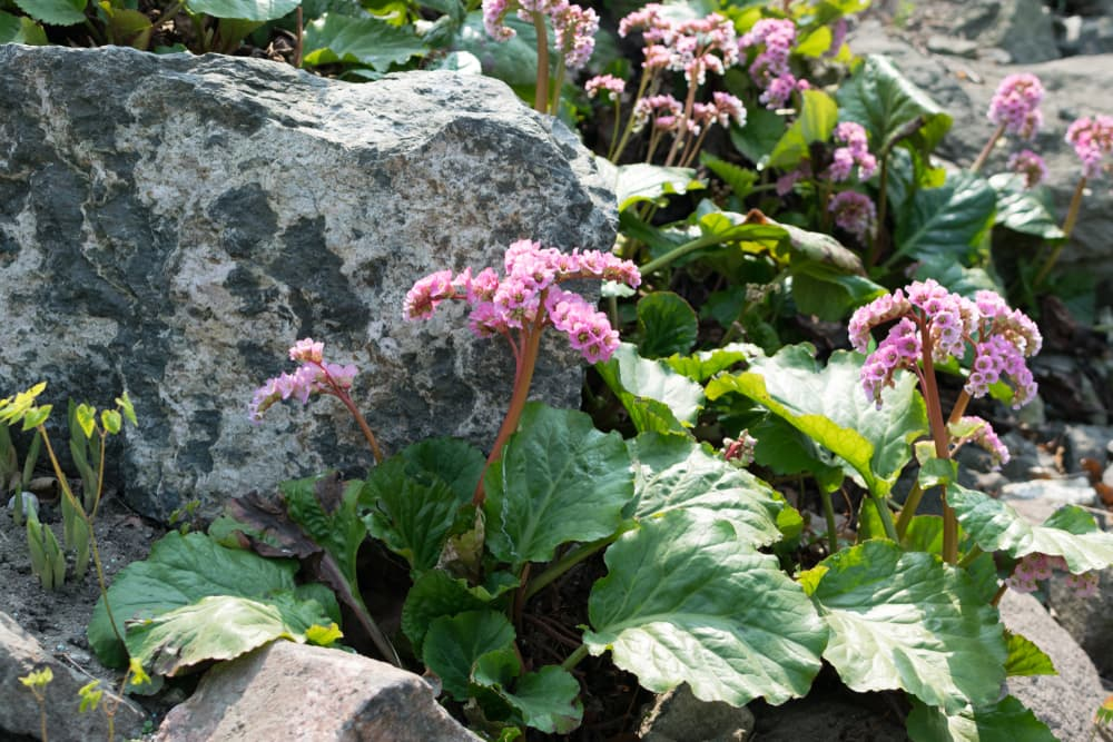 bergenia cordifolia growing from under a rock