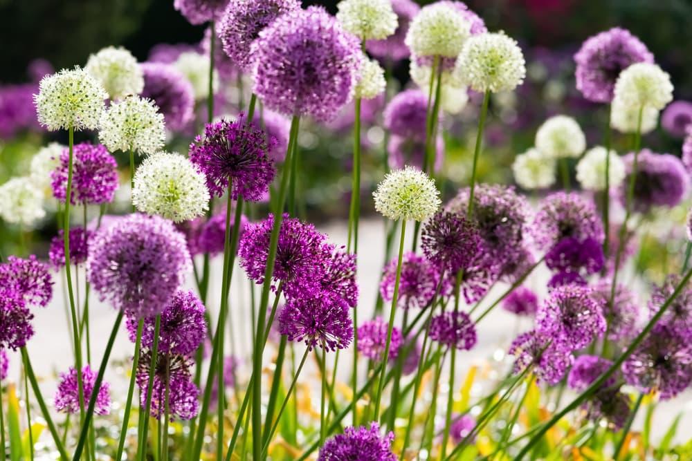 ornamental alliums in white and purple