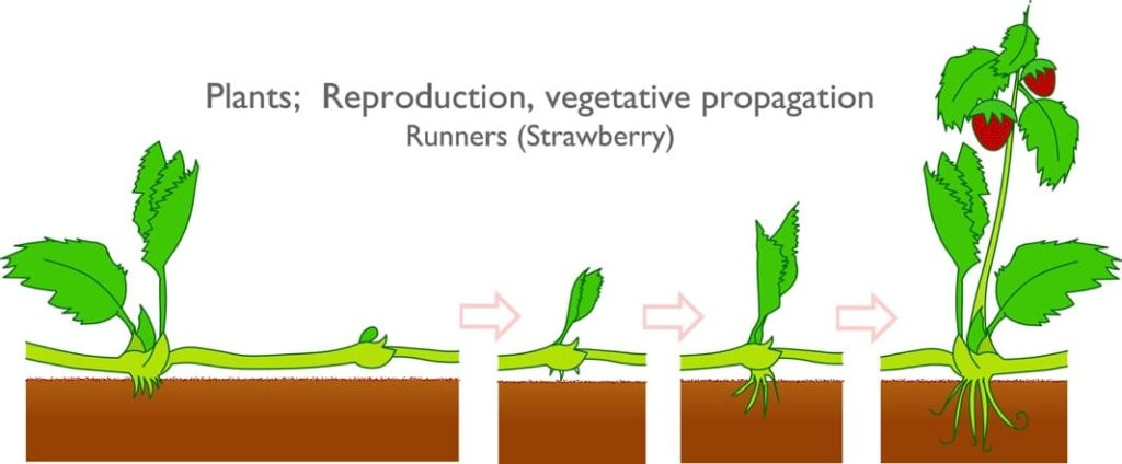 An illustration of strawberry plant growth stages