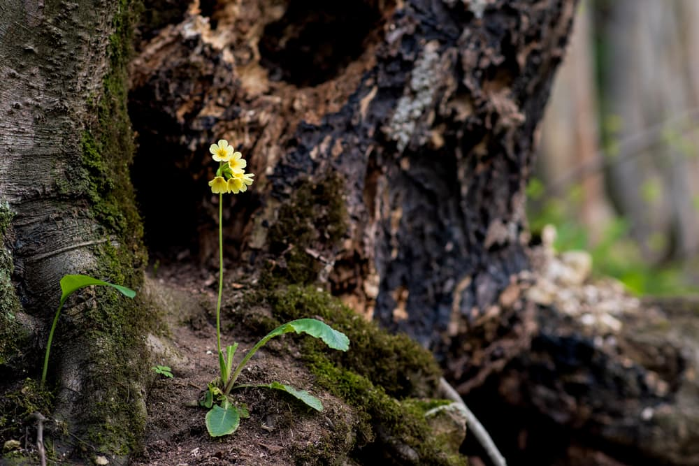 tiny yellow primrose flowers growing from the base of a tree