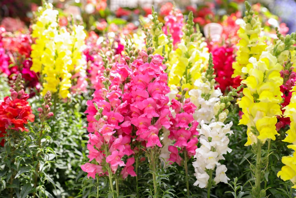 snapdragons growing upright in colours of pink, yellow and red