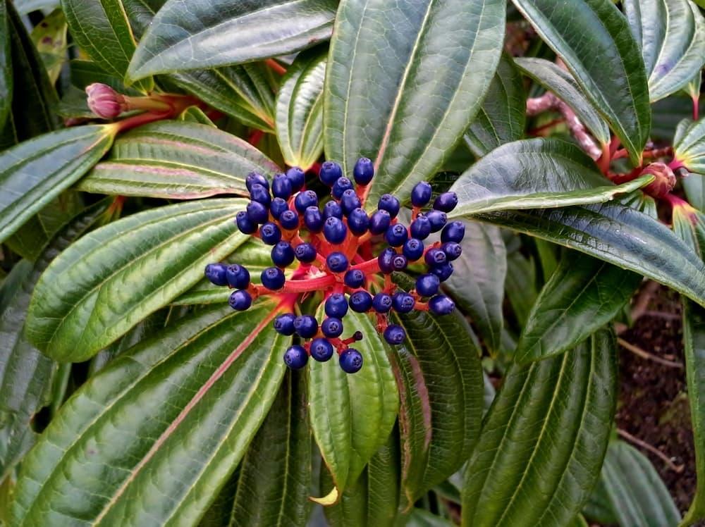 purple Viburnum Davidii berries