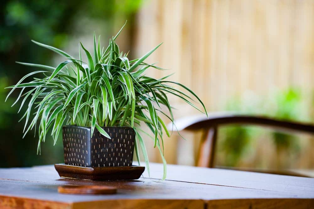 spider plant on a wooden table